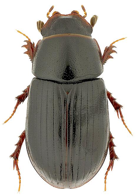 D Telnov & S Vorss: фотографии жуков из коллекции Дмитрия
