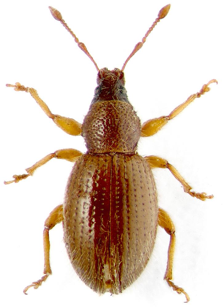 Pellucidus cam