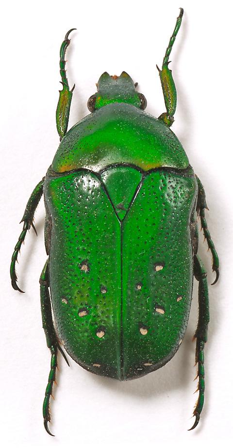 В И Гуменюк экзотические бронзовки Scarabaeidae