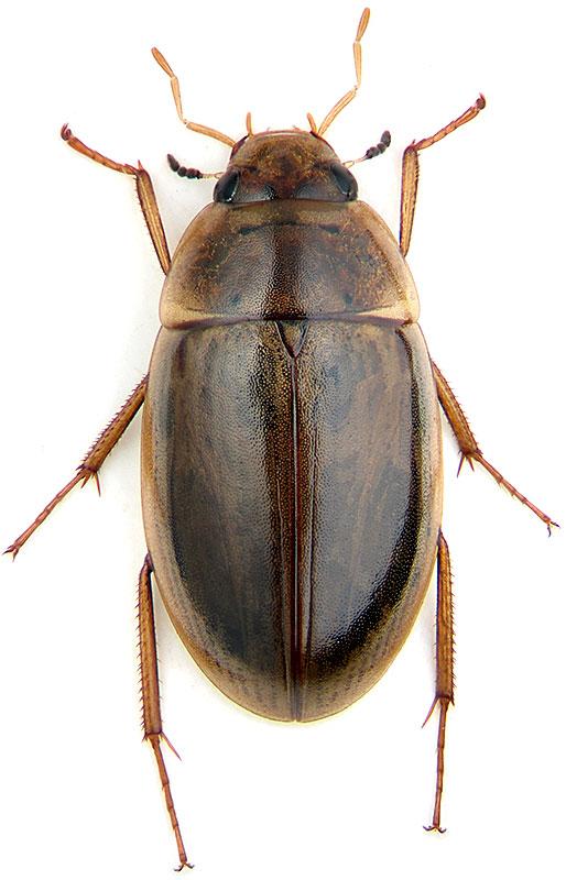Enochrus Halophilus Bedel 1878 Hydrophilidae атлас