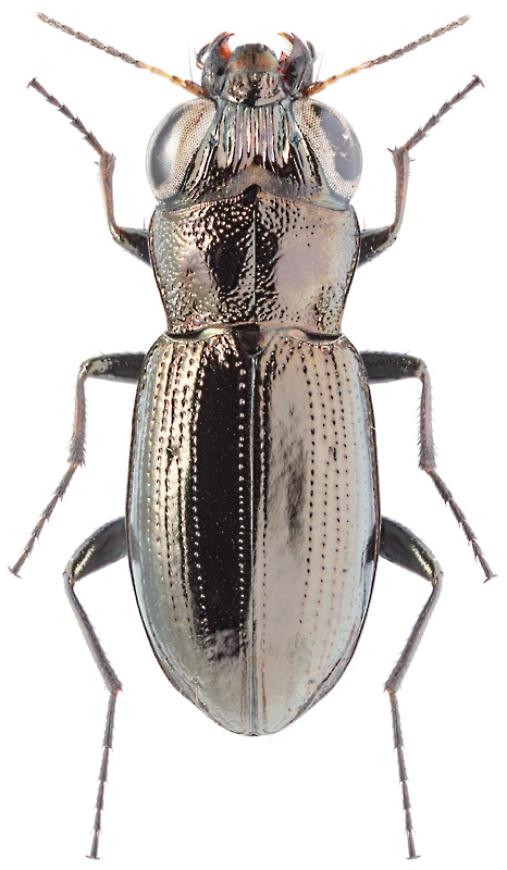 Notiophilus laticollis chaud 1850 carabidae for Psychologie nc liste