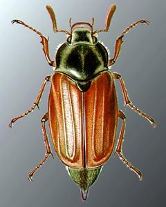 Малиновый жук от алкоголизма вывод из запоя на дому в гомеле