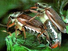 майского жука фото