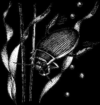 насекомые и их знакомые плавунец окаймленый