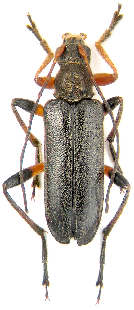 histeroides