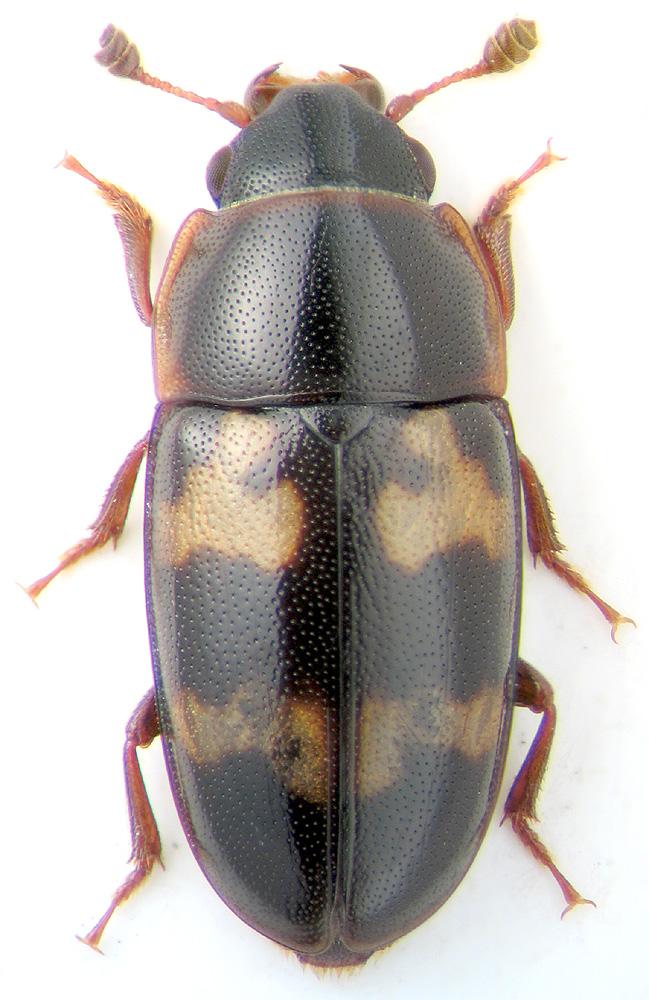 Glischrochilus (Librodor) binaevus (Reitter, 1879 ...