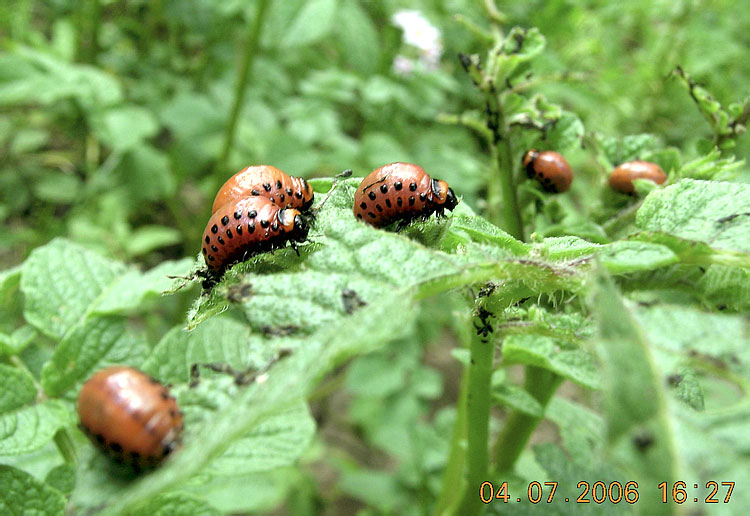 http://www.zin.ru/animalia/coleoptera/eng/lepdecl1.htm