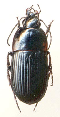 oodes helopioides fabricius 1792
