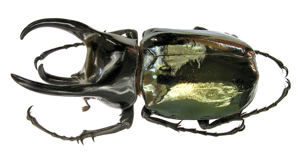 М Э Смирнов фотографии экзотических пластинчатоусых scarabaeidae