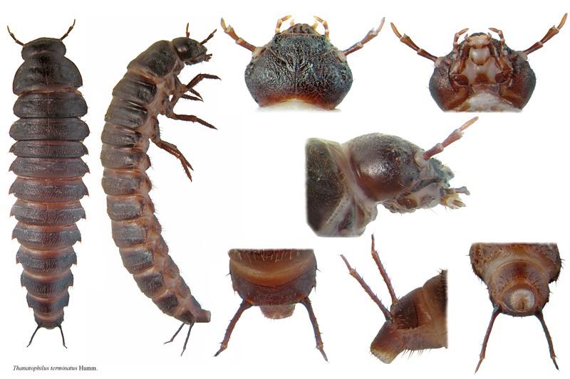 Resultado de imagen de silphidae larvae